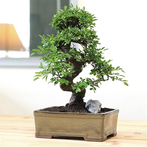 Bonsai Tree Coffee Table