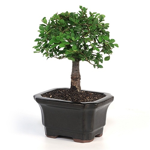 Bonsai Chinese Elm Bonsai Tree From Easternleaf Com The Chinese Elm