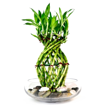 Lucky Bamboo Arrangement - Exotic Braided Pineapple