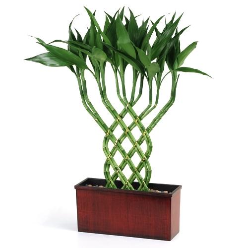 Lucky Bamboo Hoilday Trellis Lucky Bamboo From