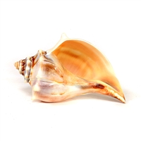 Atlantic Knobbed Whelk Sea Shell