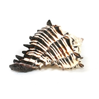 Black Murex Seashell