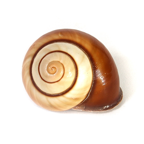 Tiger Land Snail