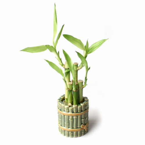 ornamental bamboo fence.htm bamboo fence    lucky bamboo  bamboo fence    lucky bamboo