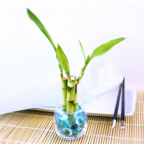 Lucky Bamboo Stalks Lucky Bamboo Arrangements And Accessories