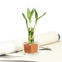 Mini Square Lucky Bamboo Wedding Favor