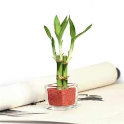 Mini Square Lucky Bamboo Wedding Favor<!-- Favor -->