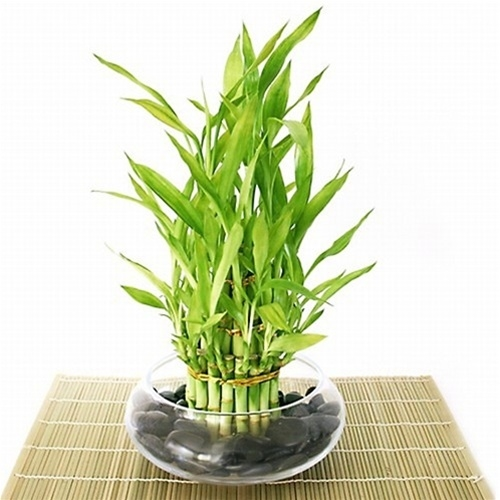 Lucky Bamboo Arrangement Tiered Bamboo