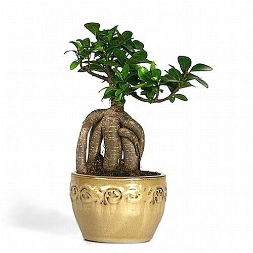 Bonsai - Ginseng Ficus Bonsai from EasternLeaf.com; The Ginseng ...