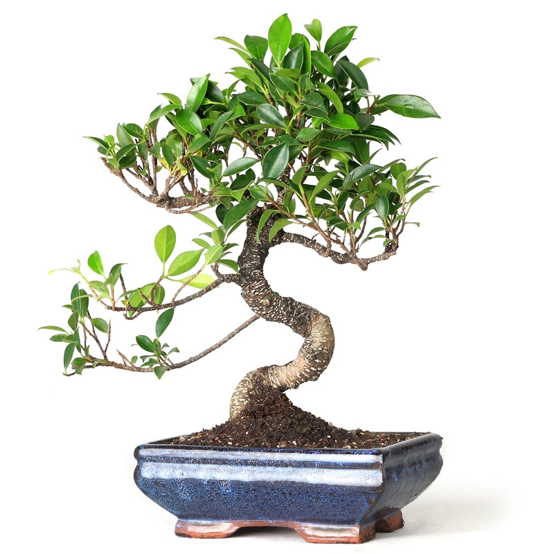 Bonsai Golden Gate Ficus Bonsai From Easternleaf Com The Golden Gate Ficus Is A Versatile Bonsai Tree That Can Be Kept Both Indoors And Outdoors The Golden Gate Ficus Bonsai Tree Has