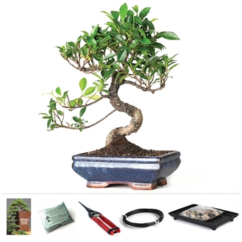 Golden Gate Ficus Starter Kit