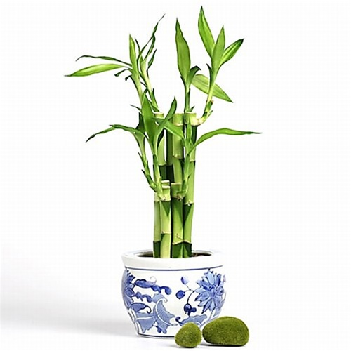 Lucky Bamboo Arrangement Blue Garden From Easternleaf Com
