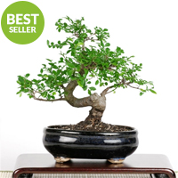Bonsai - Chinese Elm Bonsai Tree
