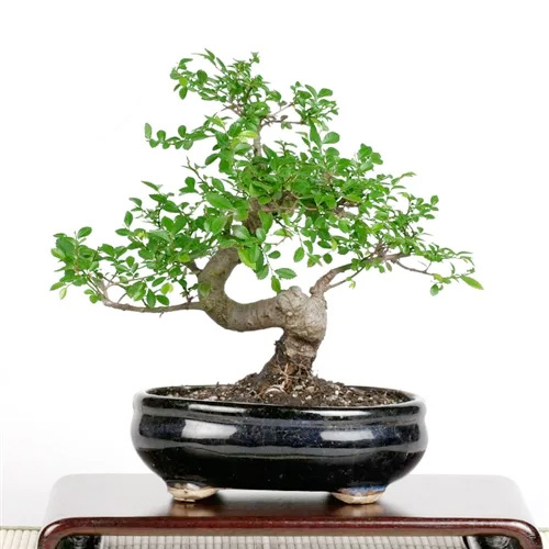 Bonsai Chinese Elm Bonsai Tree From Easternleaf Com