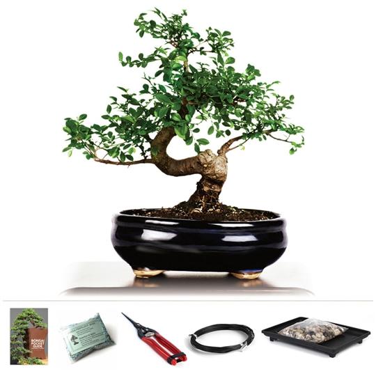 Chinese Elm Bonsai Starter Kit