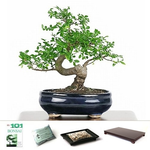 Bonsai - Chinese Elm Bonsai