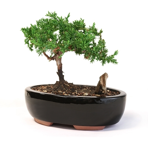 Bonsai - Figurine Juniper Bonsai Tree