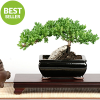 Bonsai - Rock Juniper Bonsai Tree