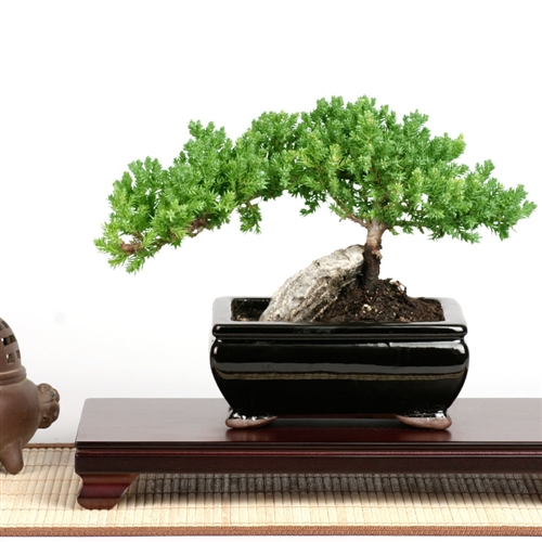 Easternleaf.com - Rock Juniper Bonsai Tree - Only $35.