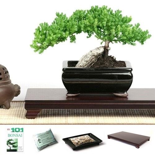 Rock Juniper Bonsai Tree Gift Set from