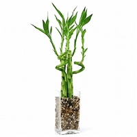 Lucky Bamboo Arrangement - Natural Glass