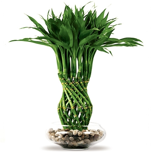 Beautiful Lucky Bamboo Arrangement   Pineapple Braided Lucky Bamboo