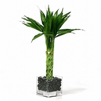Lucky Bamboo Arrangement - Elegant Twist Lucky Bamboo