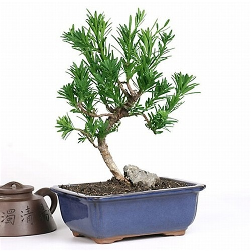 Bonsai Podocarpus From Easternleaf Com The Podocarpus Bonsai Has Evergreen Pine Leaves And A Unique Fan Like Shape To Its Trunk This Bonsai Can Be Kept In Shade Or Partial Sun The Podocarpus