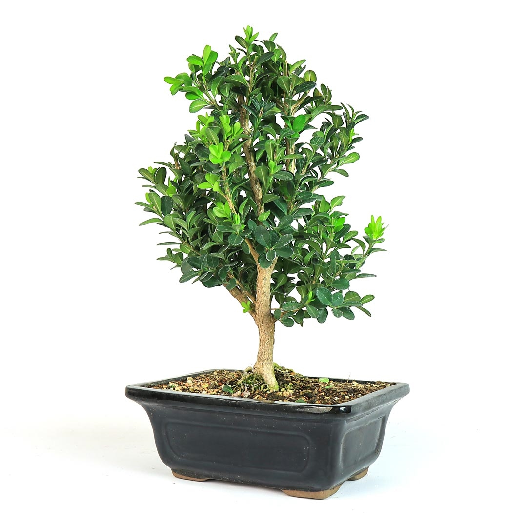 Bonsai Japanese Boxwood Bonsai Tree From Easternleaf Com Boxwood Bonsai Trees Have Dense Growing Habits And A Rough Bark This Bonsai Tree Needs Minimal Sunlight Perfect For An Indoor Environment The Boxwood