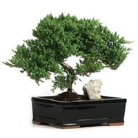 Bonsai - Large Rock Juniper Bonsai