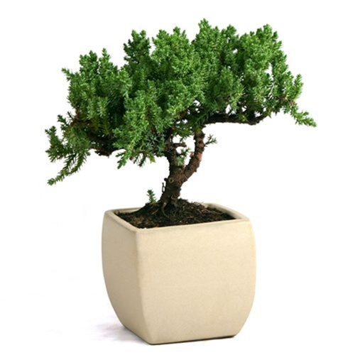 Bonsai Rock Juniper Bonsai From Easternleaf Com
