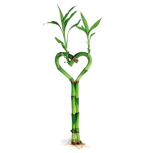 lucky bamboo individual bamboo sticks from our lucky bamboo stalks are. Black Bedroom Furniture Sets. Home Design Ideas