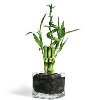 Lucky Bamboo Arrangement -  Spiral 7 Shaped Lucky Bamboo