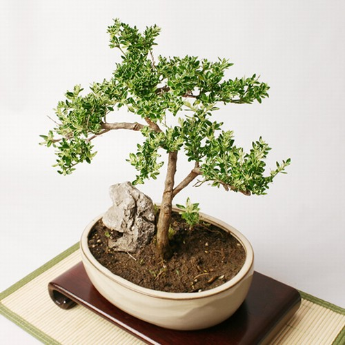 mount fuji serissa rh easternleaf com Gardenia Bonsai Bougainvillea Bonsai