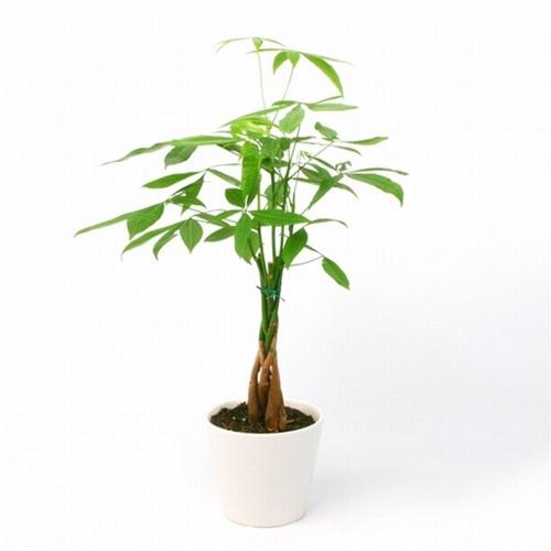 Money Tree White Vase From Easternleaf