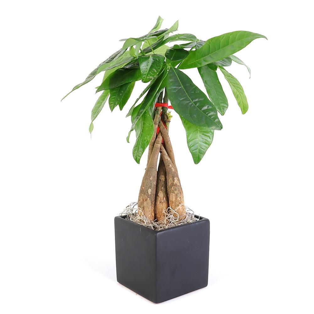 Braided Money Tree Cube Vase From Easternleaf