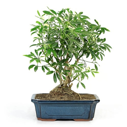 Bonsai Schefflera Bonsai From Easternleaf Com
