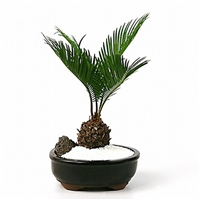 Bonsai - Sago Palm Bonsai
