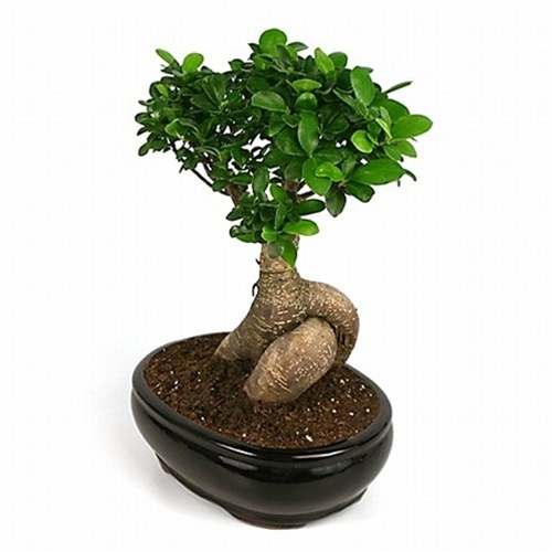Bonsai Large Ginseng Ficus Bonsai From Easternleaf Com The Large