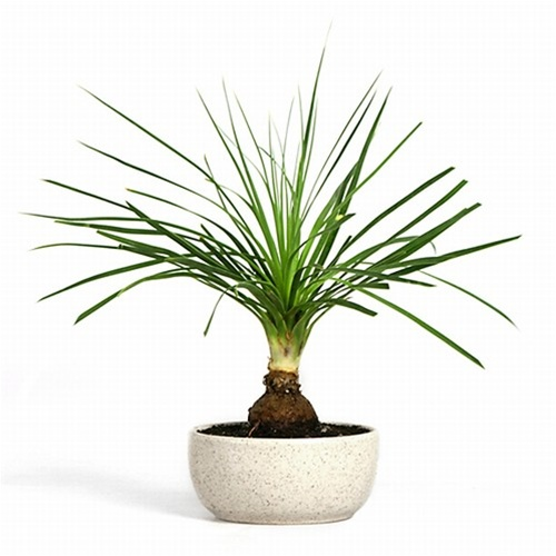 Bonsai Ponytail Palm Bonsai Tree From Easternleaf Com The Ponytail Palm Bonsai Tree Is Well Known For Its Unique Structure The Ponytail Palm Has A Large Bulbous Base With Fine Smooth Edged Flat