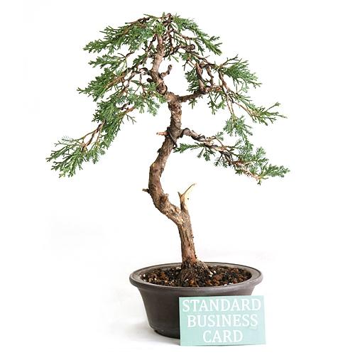 Literati Shimpaku Bonsai Tree