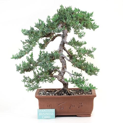 Informal Upright Juniper Bonsai Tree