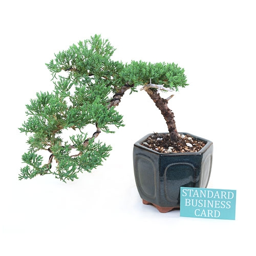 Cascading Juniper Bonsai Tree