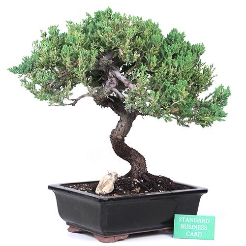 Grand Informal Upright Juniper Bonsai Tree