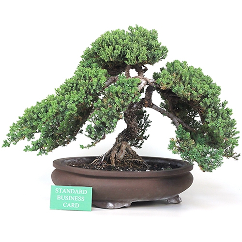 Grand Upright Juniper Bonsai Tree