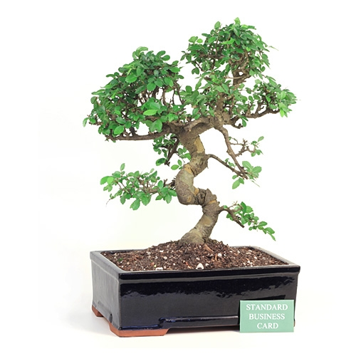 Chinese Elm #15V8P Actual Tree Shown