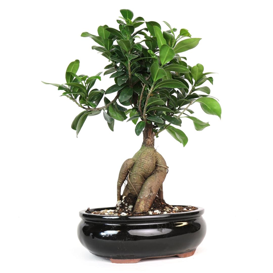 Bonsai Ginseng Ficus Bonsai From Easternleaf Com