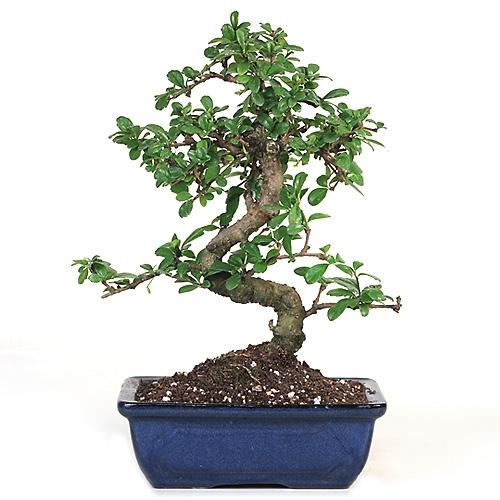 Bonsai fujian tea bonsai tree from easternleaf bonsai larger photo email mightylinksfo