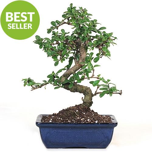 Bonsai Fujian Tea Bonsai Tree From Easternleaf Com