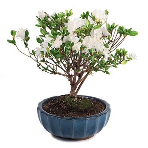 Flowering azalea bonsai tree mightylinksfo